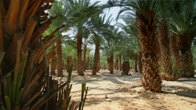 stock-footage-an-oasis-in-the-desert-these-are-date-palm-trees-and-yield-high-harvests-annually