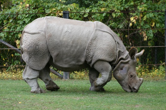 Indian_Rhino_(Rhinoceros_unicornis)1_-_Relic38